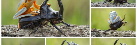 Flying Frog Enjoyed His Rodeo On A Beetle