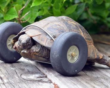 90-year-old-Turtle-onwheels-wcth01