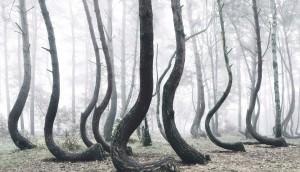 foret-arbre-tordu-pologne-05