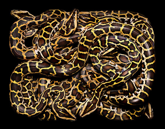 Stunning Photography of Colorful Snakes by Guido Mocafico Animals + Nature Photography