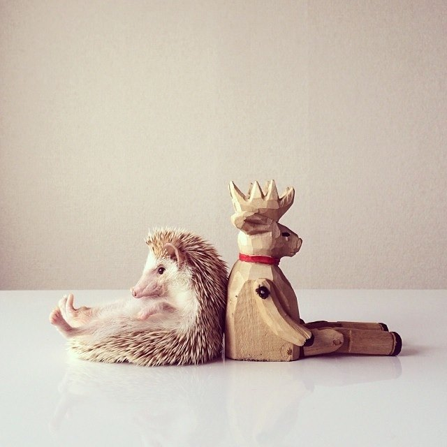 Darcy, The Cutest Hedgehog In The World Animals + Nature Photography