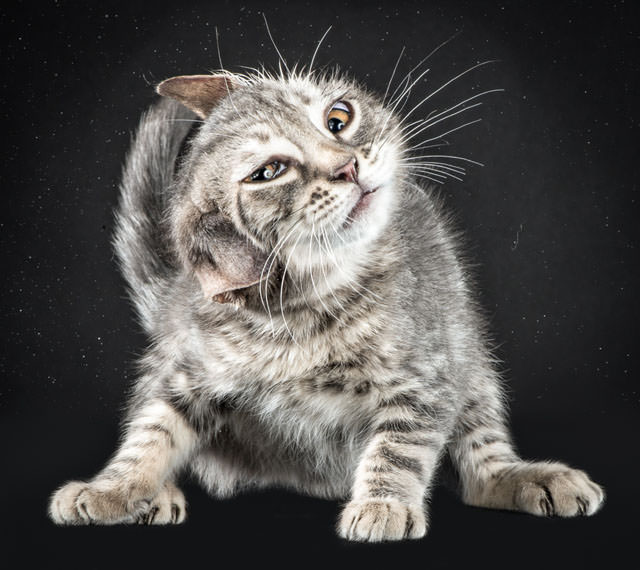 Funny Portraits Of Cats Shaking Themselves Animals + Nature Photography