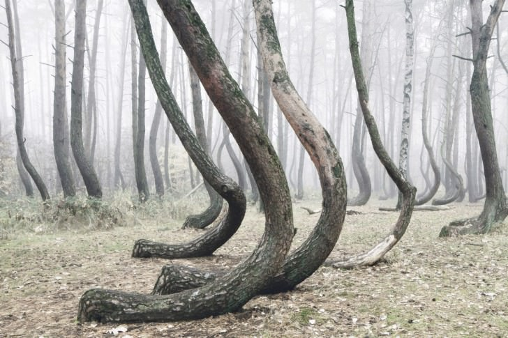 A Crooked Tree Forest In Poland Animals + Nature