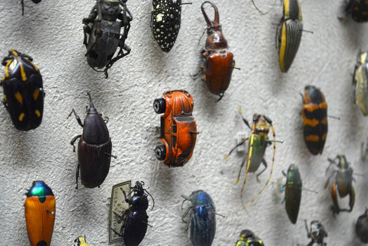 Vw Beetle Spotted in the Insect Collection of The cleveland Museum of Natural History Funny