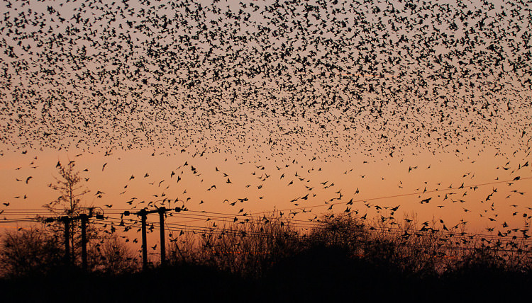 How Starlings Teach Us a Great Lesson about How to Approach Life | Geek Universe