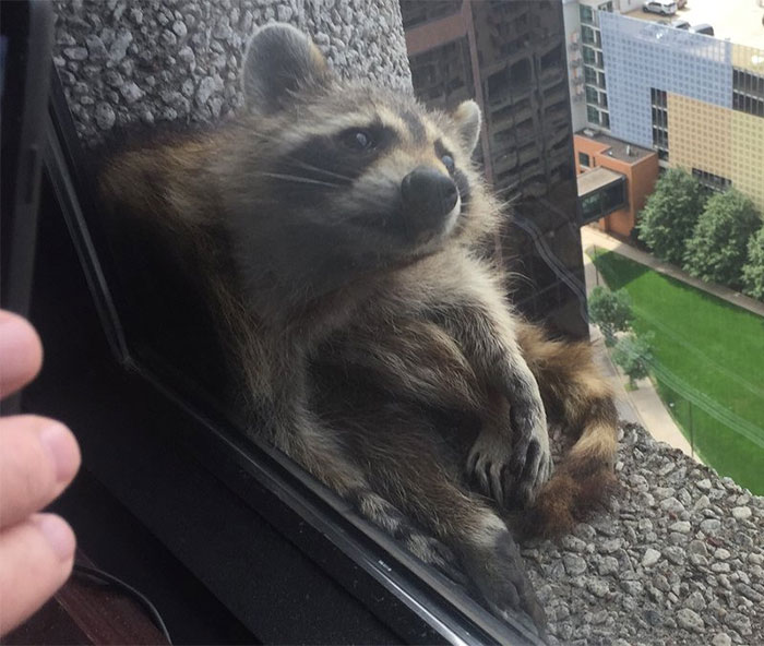 Internet Holds Its Breath As Raccoon Climbs A Skyscraper, And It Gets Scarier And Scarier With Every Pic Funny