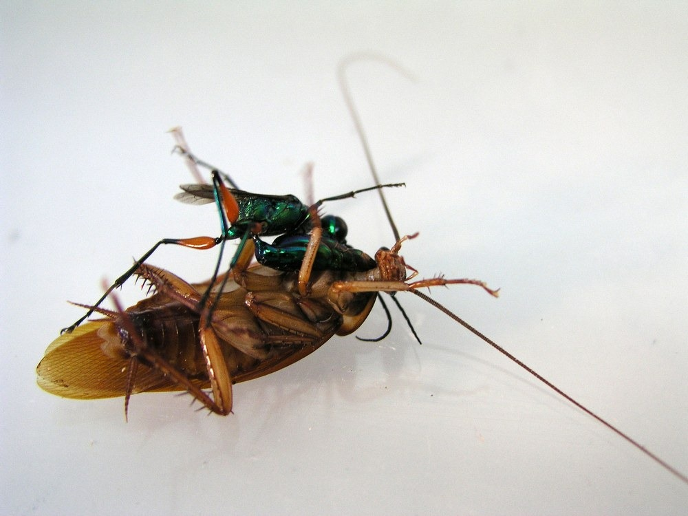 Killer Wasps And Zombie Cockroaches Photography