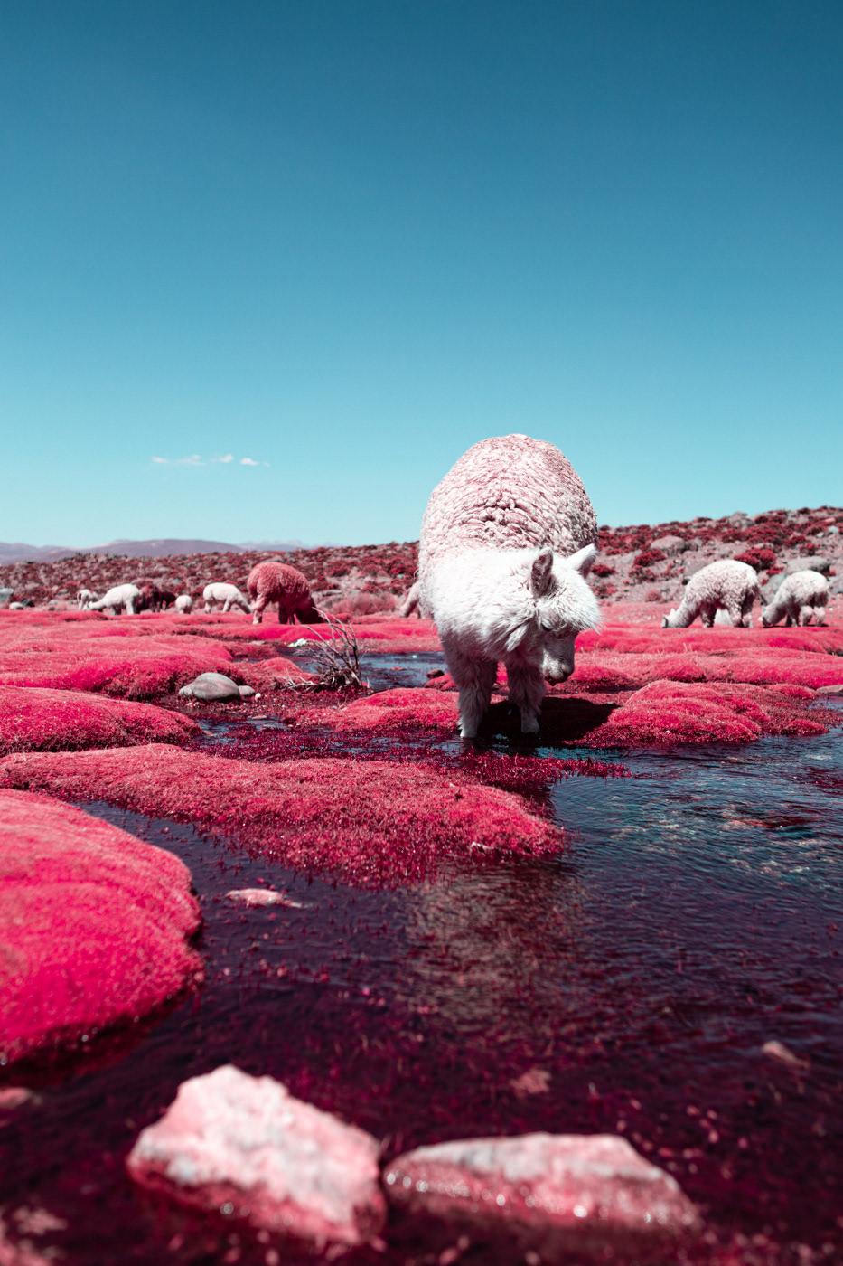 Alpacas in Dreamy Colors – Fubiz Media Design